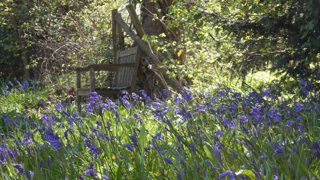 Bluebells and a wooden bench